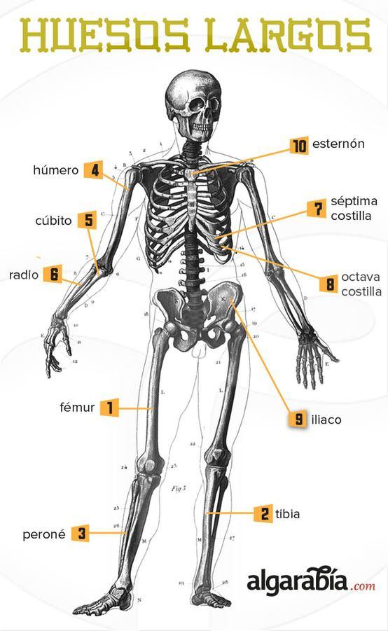 Los huesos mas largos del cuerpo humano | AR - Cuerpo | Pinterest ...